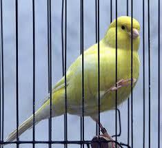 Pájaro enjaulado.